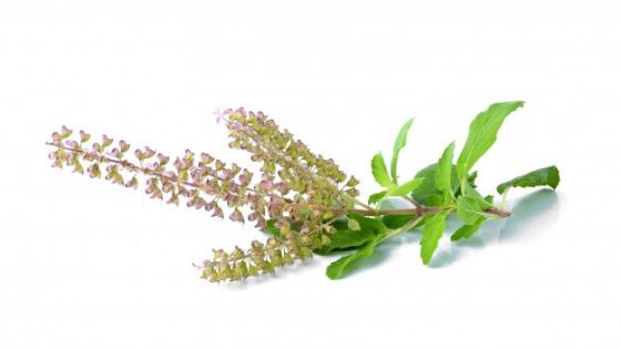 Tulsi Basil | Best Homeopathy Clinic in India for Kidney Stone